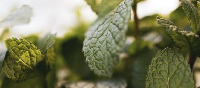 What is Peppermint Oil Good For?