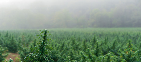 What is CBN, And How Is It Different from CBD?