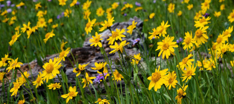 What is Arnica?