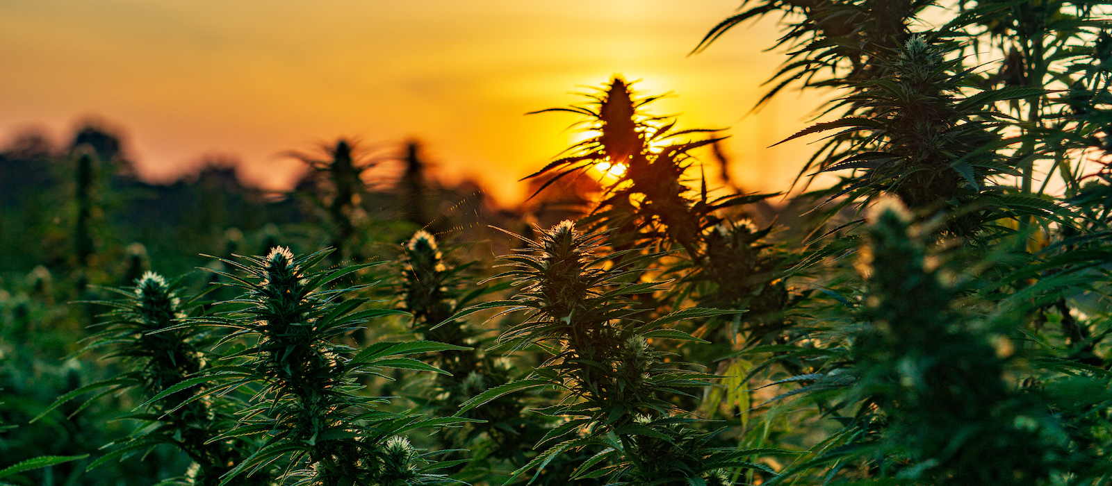 Before You Buy CBD Oil On Amazon, Read This