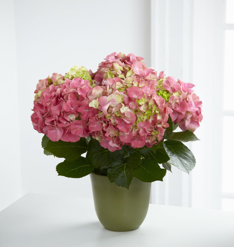 Pink Hydrangea Planter Long Island Flower Delivery