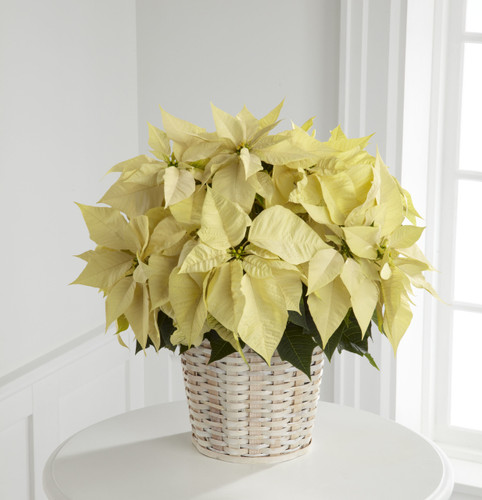 White Poinsettia Basket (Large) Long Island Florist