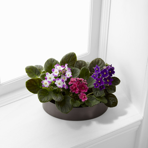 African Violets Long Island Florist