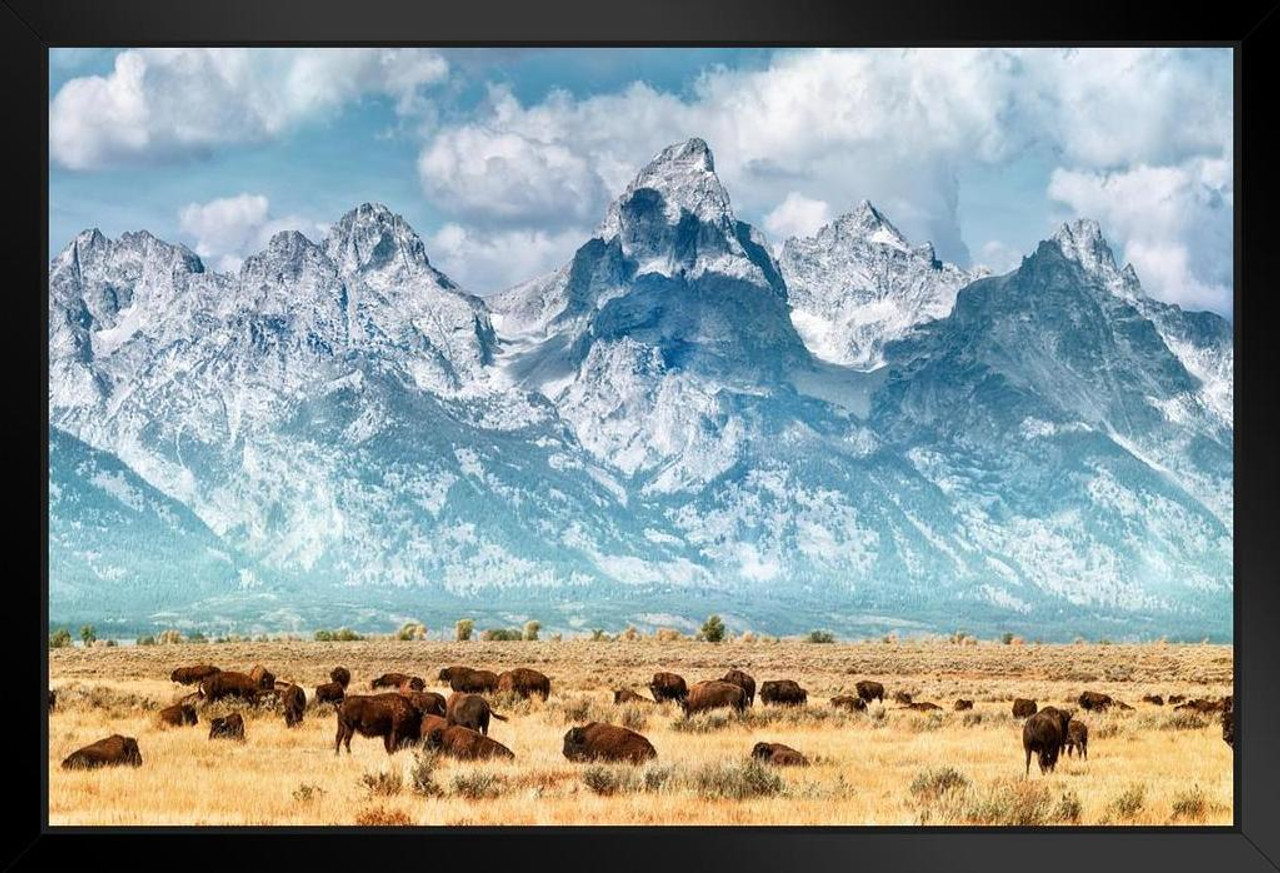 Herd Of Bison Buffalo Below Grand Teton Mountains Photo