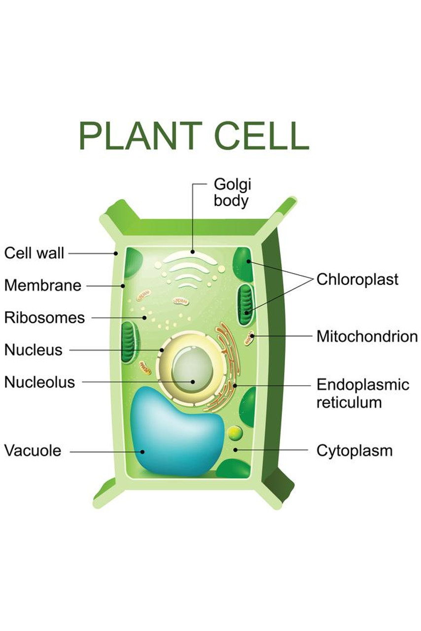 Laminated Plant Cell Anatomy Labeled Chart Diagram Sign ...