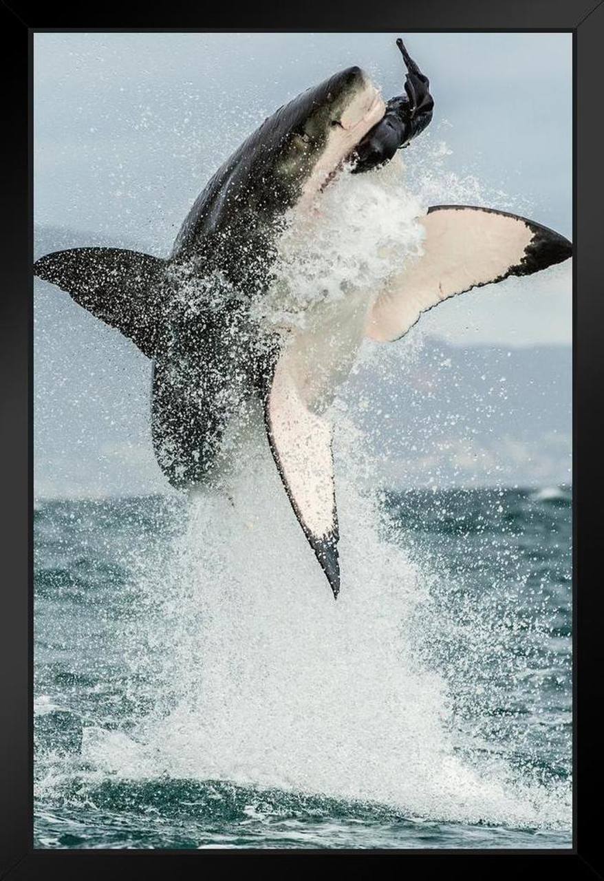Great White Shark Jumping Out Of Water Action Photo Framed Poster 14x20 inch