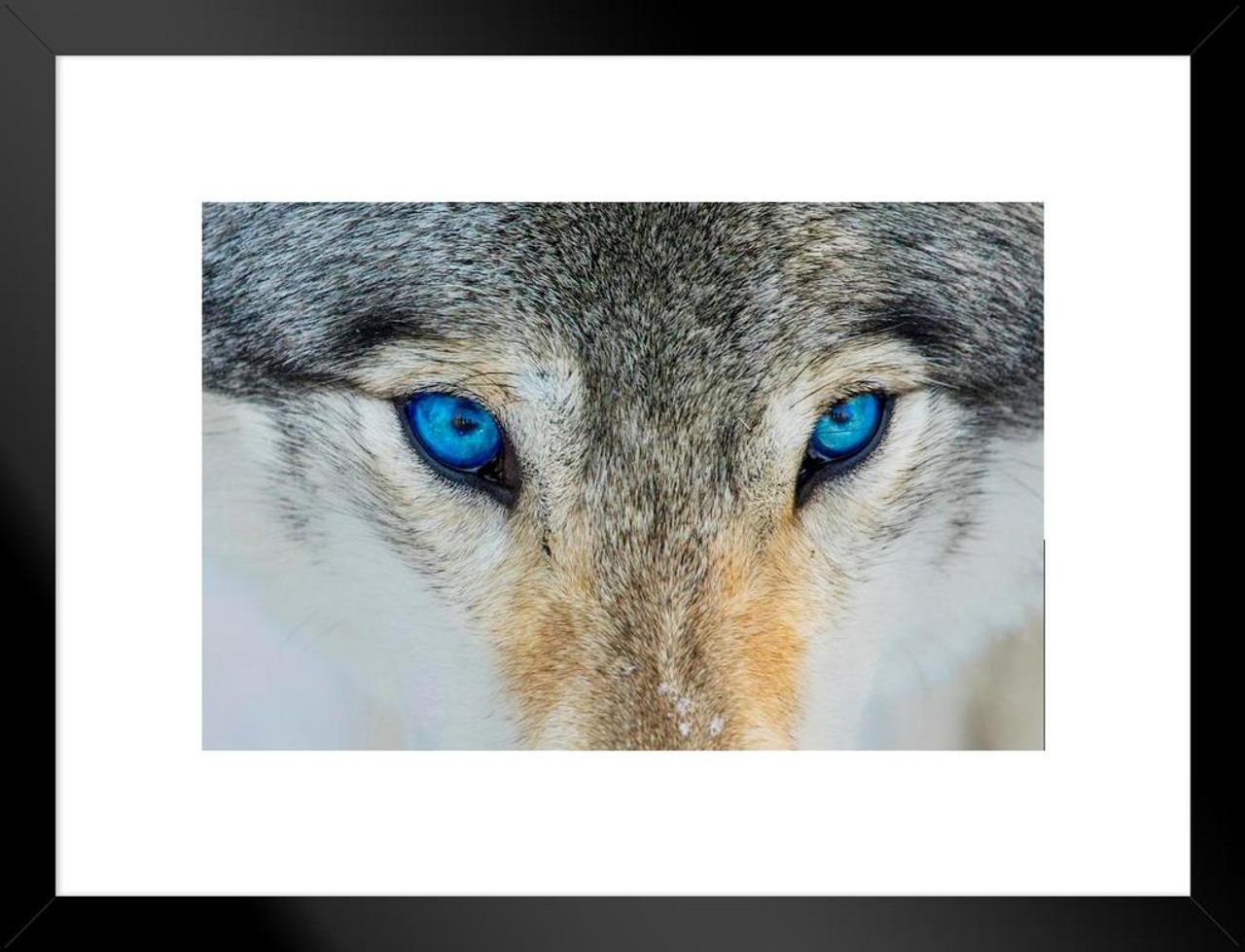 Gray Wolf Bright Blue Eyes Close Up Face Portrait Photo Matted
