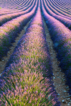 1048d477d817 Laminated Lavender Field in Full Bloom Provence France Photo Art Print Sign  Poster 12x18 inch