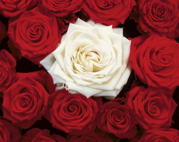 """Red Rose Passion motivational poster 24 x 36/"""""""