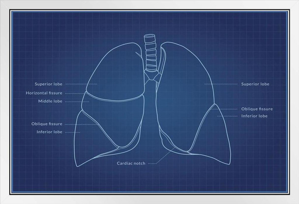 Human Lungs Diagram Blueprint Educational Chart White Wood Framed Poster 20x14