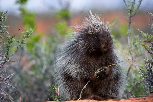 Porcupine Cute Funny Animal Poster