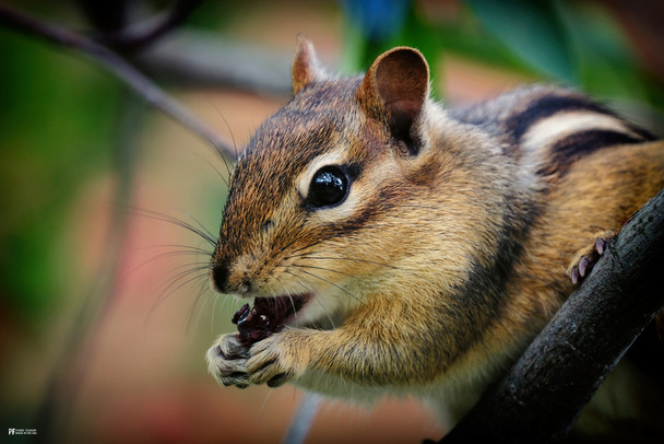 Chipmunk Cute Animal Picture Poster