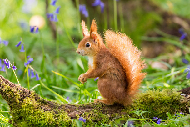 Red Squirrel Cute Animal Poster