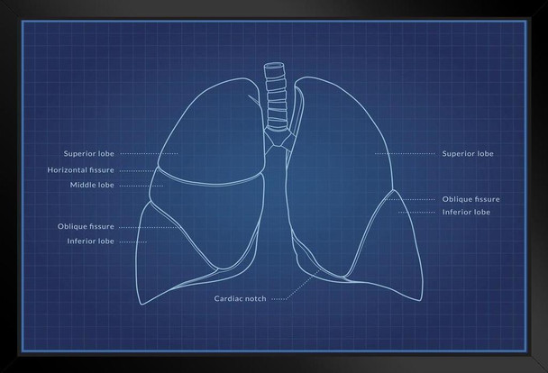 Human Lungs Diagram Blueprint Educational Chart Framed Poster 20x14 inch
