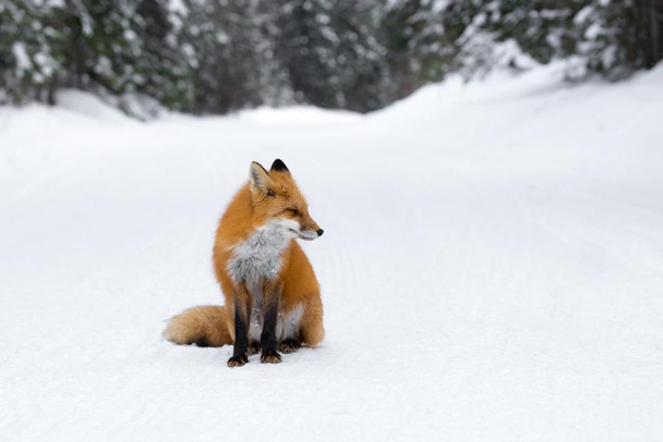 Laminated Winter Watcher Red Fox Sitting in the Snow Photo Art Print Sign Poster 18x12 inch