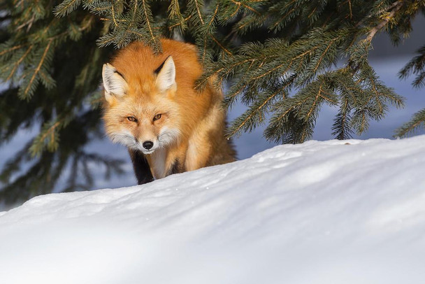 Laminated Red Fox Hunting in the Snow Photo Art Print Sign Poster 18x12 inch