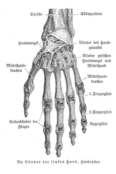 Bones of Hand Anatomy 1857 German Illustration Educational Chart Laminated Dry Erase Sign Poster 36x24