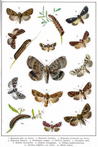 Owlet Moths of Europe 19th Century Illustration Cubicle Locker Mini Art Poster 8x12