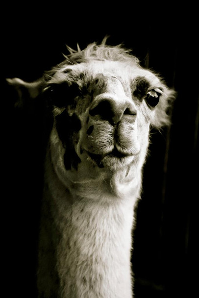 Alpaca Face Close Up View Black and White Animal Photography Face Cute Funny Llama Photo Picture Zoo Cool Huge Large Giant Poster Art 36x54