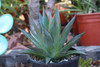 Agave Blue Glow median Succulent Plant