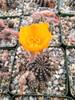 Lobivia Arachnacantha Cactus Plant