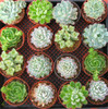 Wedding Echeveria Rosettes 16 larger plants
