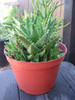 Aloe Nobilis Clump with pups Succulent Plant