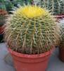 Echinocactus Grusonii Large Barrel Cactus