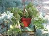 crassula hanging succulent plant
