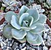 Echeveria Peaches and Cream Succulent Plant