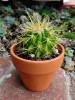 Mini cactus in terra cotta container