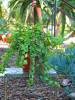Hanging Portulacaria Suculent Plant