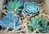Farm Fresh Boxed Mini Rosette Succulent Collection
