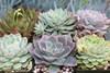 Succulent Rosettes 8 Plants