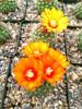 Parodia Rubellihamata Cactus Plant