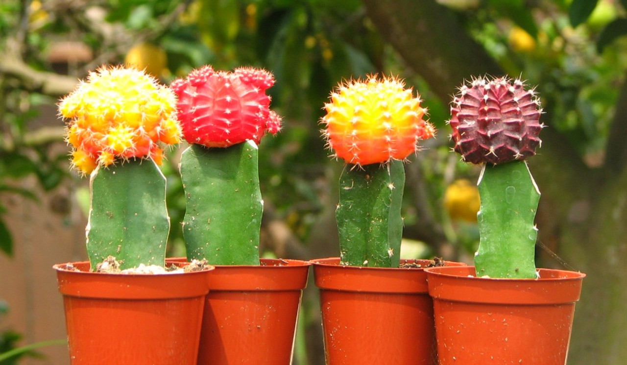 Grafted Moon Cactus Collection Buy 3 Get 1 Free Cactus Limon