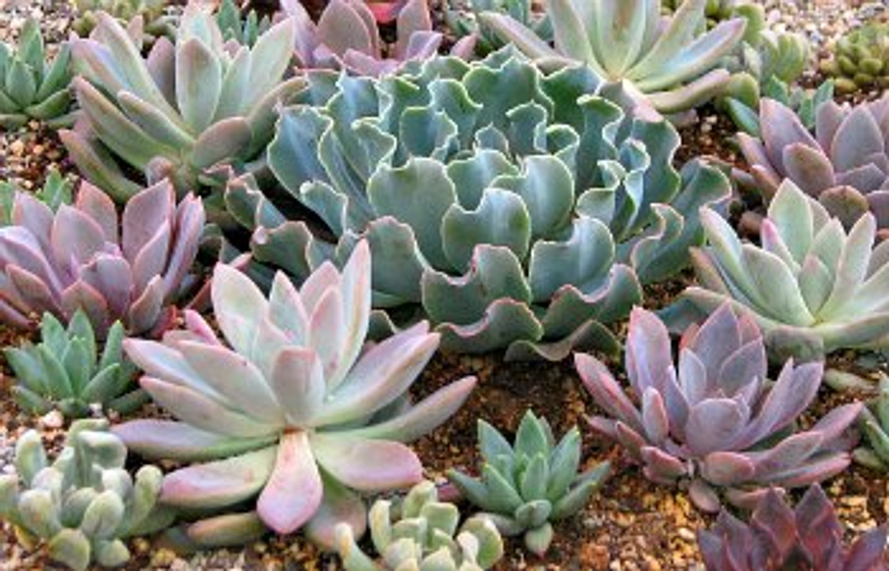Succulent 15 Plant Designer Mix For Projects And Gardens Cactus
