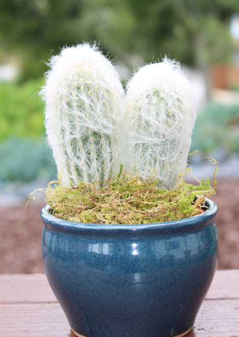 Cactus Potted Plant