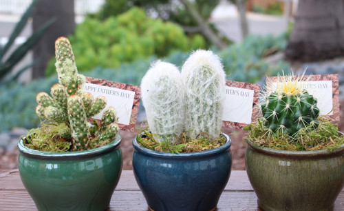 Cactus Potted plants in Glazed Pots