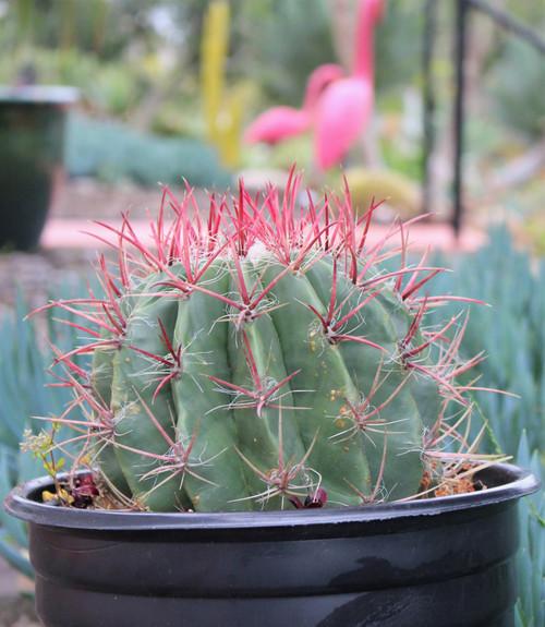 Ferrocactus large cactus Plant