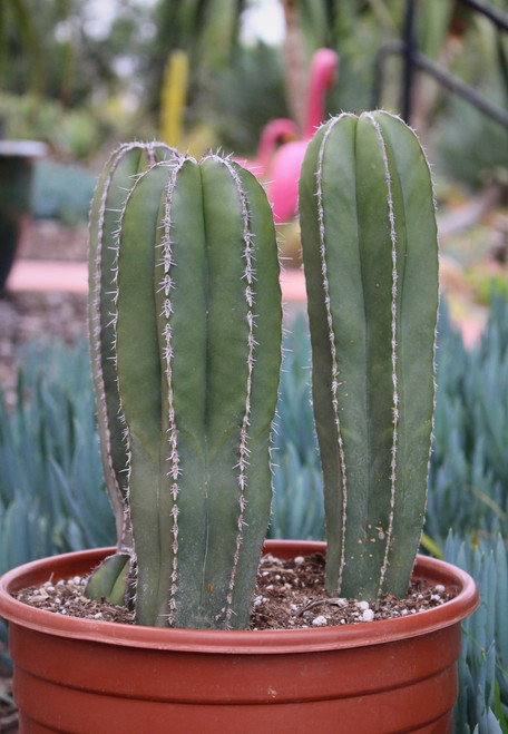 Pachycereus Marginatus Mexican Fence Post Cactus Plant