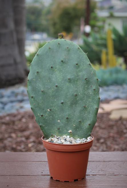 Opuntia Prickley Pear Cactus Plant