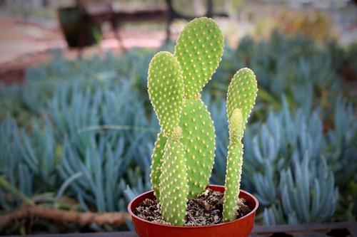 Opuntia Microdasys Cactus Plant