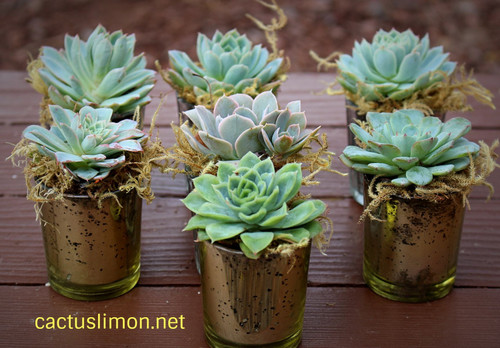 Premium moss-decorated succulent rosettes in gold votive
