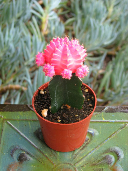 Grafted Pink moon Cactus