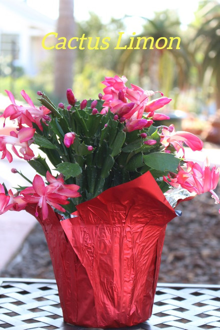 christmas cactus blooming bright pink