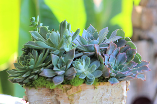 Succulent Arrangement, Live Succulents in rectangular Birch Rectangular Trimmed Planter, Holiday Gift, Tabletop decor