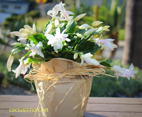 Farm Fresh Blooming Christmas Cactus Plant