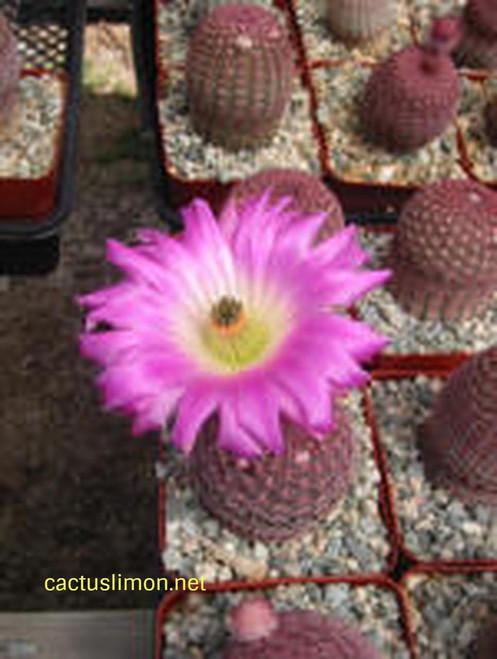 Echinocereus Rubispinus Cactus Plant