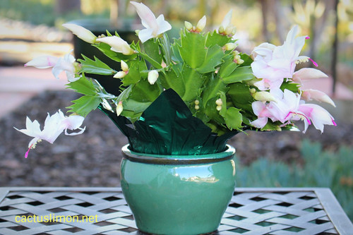 Ceramic potted Deluxe Blooming Christmas Cactus Gift Plant
